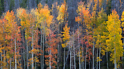 Autumn aspens at the foot of Trail Ridge Road in Colorado
