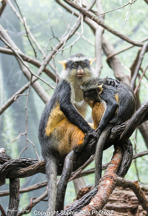 Together we've got this! Wolf's guenon at the Bronx Zoo