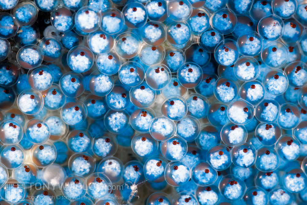 These are eggs of a sculpin named Alcichthys elongatus, found in the northwest Pacific. The eggs of this species have a blue tint and measure about 2mm to 3mm in size. Photographed at a magnification of two times life-size.