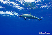 Hawaiian spinner dolphin or Gray's spinner dolphin or long-snouted spinner dolphin, Stenella longirostris longirostris, Makalawena, Kona Coast, Big Island, Hawaii ( Central Pacific Ocean )