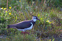 Lapwing (Vanellus vanellus), Texel, the Netherlands