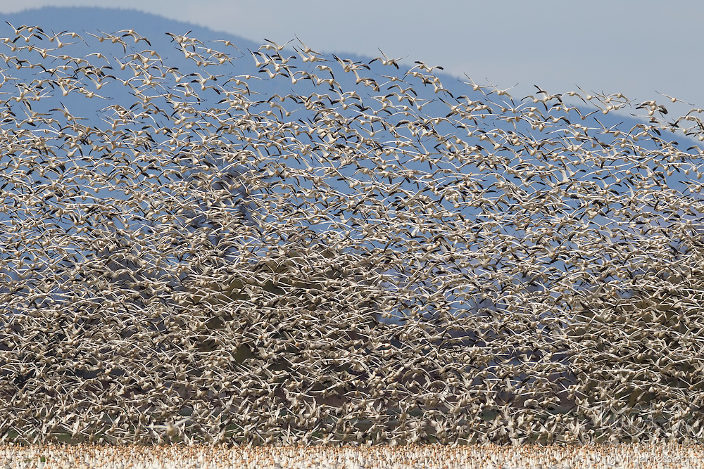 A very large flock of snow geese (Chen caerulescens) fills the sky above the Skagit Valley in Washington state. Tens of thousands of snow geese spend the winter there.