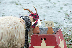 """Boots the fortune telling goat gives their predictions for 2017, at Lanton Hill Farm, Jedburgh. Think this was """"Will Andy become Sir Andy""""."""