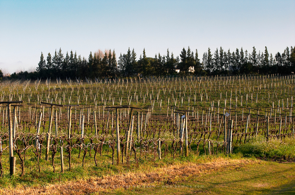 View over the vineyard at sunset. Vines trained in Guyot simple, winter pruned, wooden supporting posts and metal wires to tie the vines to. Bodega Carlos Pizzorno Winery, Canelon Chico, Canelones, Uruguay, South America