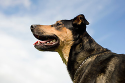 Wallace Mixed Breed Young Dog against a blue sky with white clouds 11 Aug 2010 .Images © Paul David Drabble..