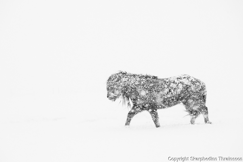 Horse in a snowstorm