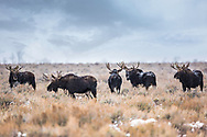 A bevy of bull moose in Grand Teton National Park.  For a short time every year moose gather in herds in Jackson Hole to feast on a localized high protein shrub - bitterbrush.