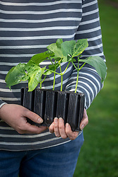 Holding young runner bean plants in root trainers ready to plant out. Phaseolus coccineus