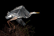 A Great Blue Heron, Ardea herodias, takes flight at night at Shark Valley, Everglades National Park, Florida, United States.