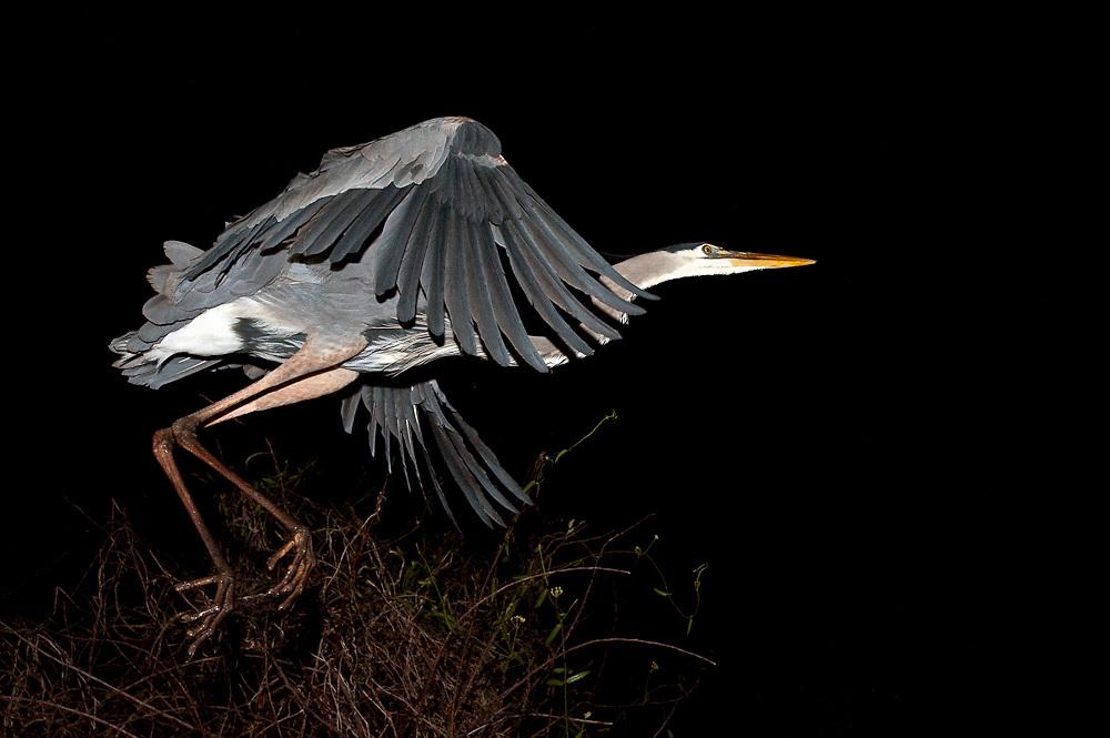 A Great Blue Heron, Ardea herodias, takes flight at night at Shark Valley, Everglades National Park, Florida, United States.