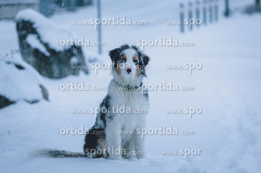 THEMENBILD - ein Hund (Australian Shepherd) sitzt auf einem verschneiten Weg, aufgenommen am 03. Dezember 2020, Kaprun, Österreich // a dog (Australian Shepherd) is sitting on a snowy path on 2020/12/03, Kaprun, Austria. EXPA Pictures © 2020, PhotoCredit: EXPA/ Stefanie Oberhauser