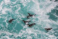 Humboldt penguins swimming in the peruvian coast at Ica Peru