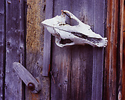Weathered red fox skull decorating outhouse once owned by Bill and Katie Mackey, Wiseman, Brooks Range, Alaska.