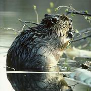 Beaver (Castor canadensis) feeding on leaves of an aspen tree on the edge of a beaver pond in Minnesota.