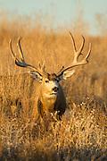 Huge mule deer buck during fall rut