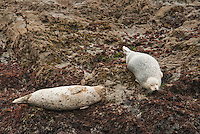 Harbor seals, Phoca vitulina, basking on rocks near Mendocino, California