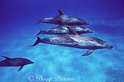 Atlantic spotted dolphins, Stenella frontalis, mature adults, White Sand Ridge, Little Bahama Bank, Bahamas ( Western North Atlantic Ocean )