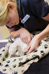 Rabbit having claws trimmed at Rushcliffe Veterinary Surgery, Nottingham, UK.