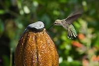 Anna's hummingbird, Calypte anna. Drinking from a backyard fountain in the Santa Cruz Mountains, California