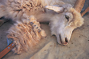 Cashmere goat<br /> Raking the hair for use<br /> Gobi Desert<br /> Mongolia