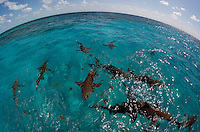 Lemon Sharks at the Surface