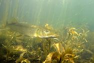 Northern Pike<br /> <br /> Engbretson Underwater Photo