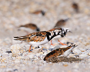 Ruddy Turnstone during spring migration and the ancient connection of shorebirds feeding at the shoreline on Horseshoe Crab eggs.<br /> Delaware Bayshore, Ted Harvey Wildlife Area