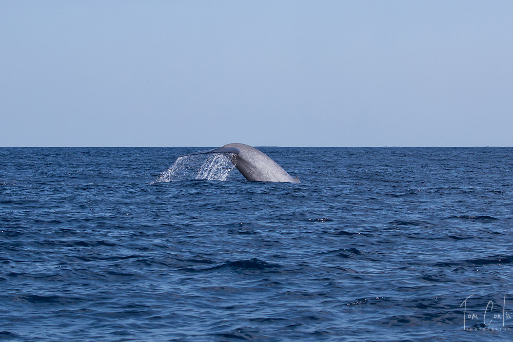 """blue whale ~ Balaenoptera musculus ~<br /> Pico, Azores, Portugal ~ """"This work was performed under the authorization n.0 XX-ORAC-2018 issued by the Government, on February 22, 1018"""""""
