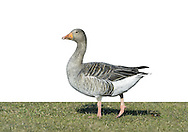 Greylag Goose Anser anser L 75-90cm. Largest Anser goose and only one that breeds in Britain. Feral populations confuse species' wild status. Compared to other 'grey' geese, bulky and more uniformly grey-brown. Pink legs and heavy, pinkish orange bill help with identification. In flight, pale forewings, rump and tail contrast with darker flight feathers. Sexes are similar. Adult is greyish with dark lines on side of neck, barring on flanks and pale margins to back feathers. Bill is pale-tipped. Juvenile is more uniformly grey-brown than adult and bill lacks pale tip. Voice Utters loud, honking calls. Status Locally common resident, mainly in N. Wild migrants boost numbers in winter. Favours wetlands and reservoirs with adjacent grassland.