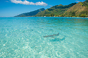 Shark, Tiahura, Moorea, French Polynesia, South Pacific