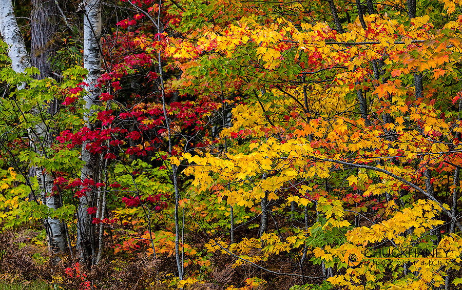Birch tree trunks contrast against fall color in Pictured Rocks National Lakeshore, Michigan, USA