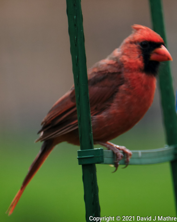 Northern Cardinal. Image taken with a Fuji X-T4 camera and 100-400 mm OIS lens.