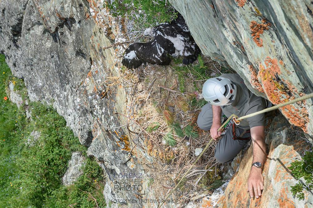 Der Bündner Wildhüter Geri Ballat beim Beringen eines jungen Steinadlers im Gebiet des Naturparks Parc Ela