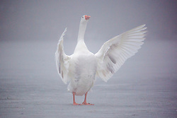 © Licensed to London News Pictures. 05/03/2018. Leeds UK. A Goose spreads it's wings while standing on the frozen lake at Golden Acre park in Leeds this morning as the county is covered with thick fog for a second day. Photo credit: Andrew McCaren/LNP