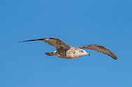 An immature gull rides the rising air along the line of dunes at Herring Cove Beach, Provincetown.