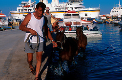 MALTA GOZO MGARR JUL00 - A Maltese horseowner leads his horses out of the water in the harbour of Mgarr. Horse racing, another legacy of British colonialism, is a favourite pastime for Maltese.. . jre/Photo by Jiri Rezac. . © Jiri Rezac 2000. . Tel:   +44 (0) 7050 110 417. Email: info@jirirezac.com. Web:   www.jirirezac.com