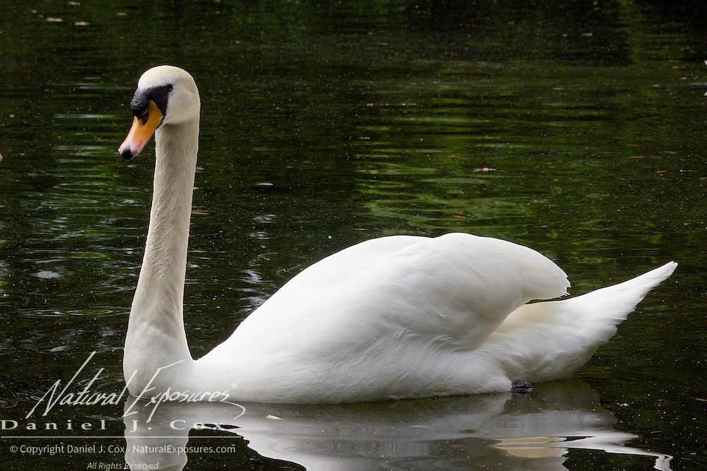 Mute Swan, Saint Stephan's Green Park, Dublin, Ireland.