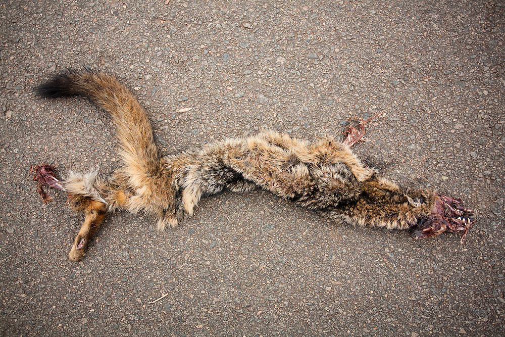 Areado_MG, Brasil...Detalhe de um bicho morto na BR 491 em Areado...Detail of died animal in the BR 491 in Areado...Foto: LEO DRUMOND / NITRO