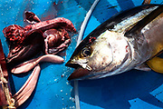 Facing its own blood and guts on the blue deck, a yellow fin tuna is dead on the floor of a dhoni boat in the Indian Ocean. After clubbing it death, fishermen from the Maldives have removed its respiratory organs with sharp knives and washes it down with a hose. Next it will be plunged into ice containers to cool the flesh, reducing the risk of self-deteriorating flushed blood which renders it unfit for consumption under EU law (its live internal core temperature is 40 degrees centigrade). When as many fish have been caught (often weighing 50kg) before dark using hand and line method, rather than nets, the boat presses on to the processing factory at Himmafushi where they're filleted and boxed for export to Europe and in particular, for UK supermarkets like Sainsbury's.