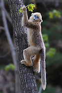 Golden Snub-nosed Monkey, Rhinopithecus roxellana, climbing a tree for feeding on a leaf in Foping Nature Reserve, Shaanxi, China