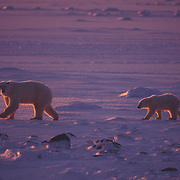 Mother polar bear and cub on Hudson Bay in Canada.