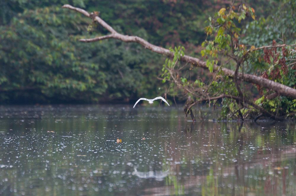 A bird flies over the Rio Tortuguero, Costa Rica.