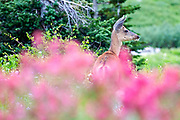 Doe in wildflowers, Albion Basin, Little Cottonwood Canyon, Utah
