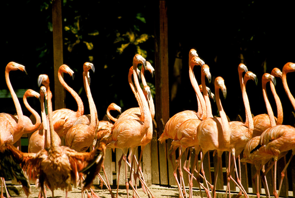 Bahamas: Nassau: Flamingoes, Ardastra.  Photo: bahama105.Photo copyright Lee Foster, 510/549-2202, lee@fostertravel.com, www.fostertravel.com