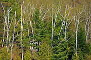Cottage hidden behind birch trees<br /> Dorset<br /> Ontario<br /> Canada