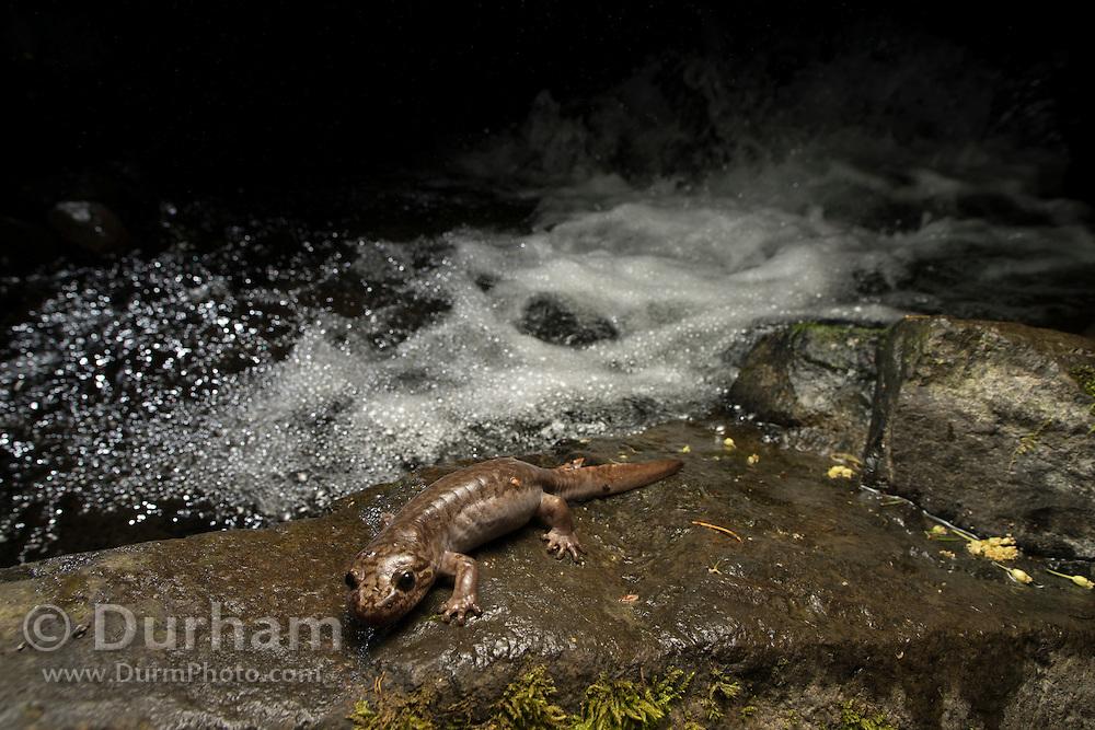 Pacific giant salamander (Dicamptodon tenebrosus) streamside at night in the Columbia River Gorge, Oregon.
