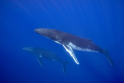 A pair of Humpback Whales, Megaptera novaeangliae, ascend to breathe.  Moorea, French Polynesia, Pacific Ocean
