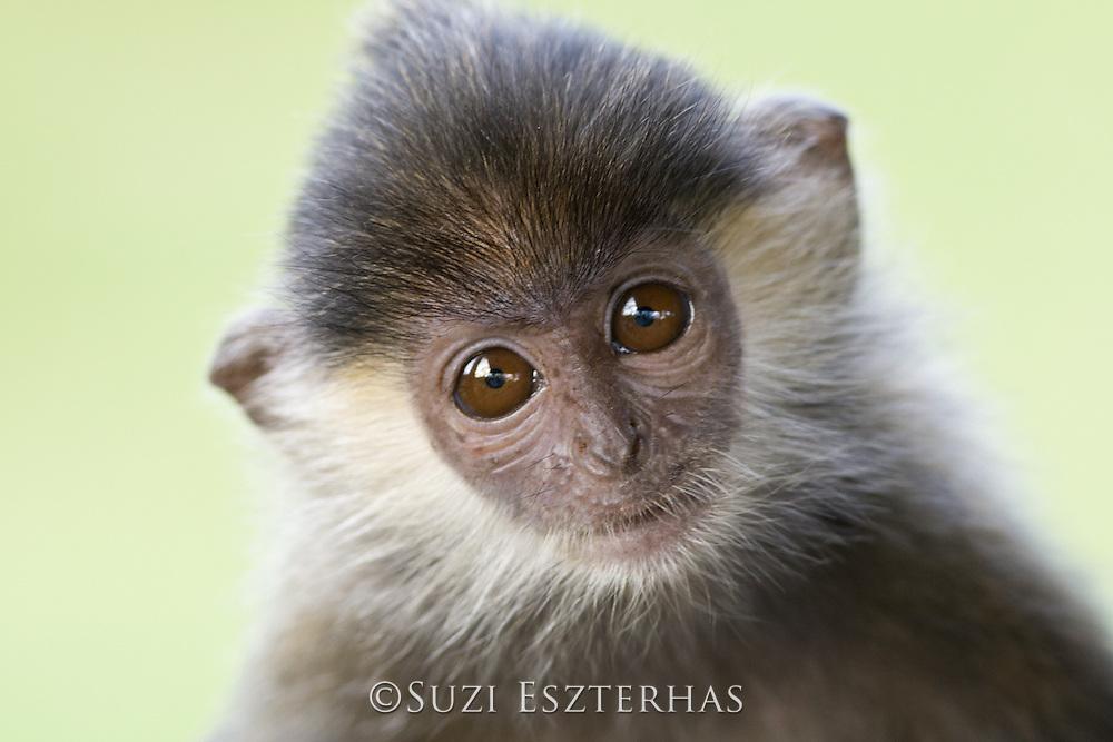 Silvered Langur<br /> Semnopithecus cristata<br /> Baby<br /> Sabah, Malaysia