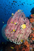 Butterflyfishes and Barrel Sponge <br /> <br /> Shot in Indonesia