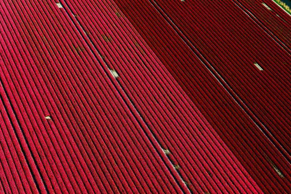 Nederland, Noord-Holland, Hollands Kroon, 07-05-2018; tulpenvelden in de Wieringermeer, ten zuiden van Amstelmeer.<br /> Mondriaan in the polder, flower bulb fields in the Wieringermeer polder.<br /> <br /> luchtfoto (toeslag op standaard tarieven);<br /> aerial photo (additional fee required);<br /> copyright foto/photo Siebe Swart